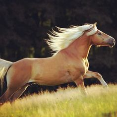 Haflinger......running in the wind on golden grain.....