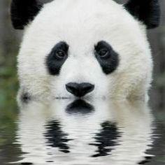 Cute Baby Panda Pictures (2)