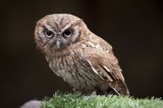 An owl at the Scottish Owl Centre, by mmcclair, via Flickr
