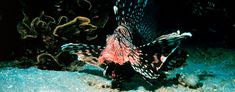 The invasive lionfish threaten native fish and the environment in U.S. Atlantic coastal waters