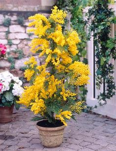 Shop Mimosa Acacia Plants at J Parker's. Also known as Mimosa Dealbata it produces fragrant yellow flowers. Buy top quality plants online now. Exotic Plants, Exotic Flowers, Yellow Flowers, Albizia Julibrissin, Garden Terrarium, Garden Plants, House Plants, Acacia Dealbata, Plantas Bonsai