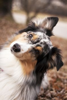 Everything About The Work-Oriented Australian Shepherd Puppies Health Australian Shepherds, Aussie Shepherd, Australian Shepherd Puppies, Aussie Puppies, Dogs And Puppies, Corgi Puppies, Doggies, Teacup Puppies, Beautiful Dogs