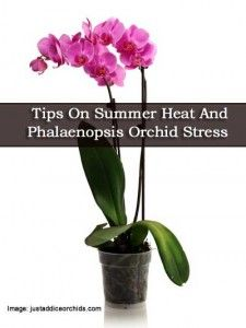Tips On Summer Heat And Phalaenopsis Orchid Stress