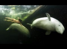Scientist swims with whales.  The pictures show her swimming in the minus one degree Centigrade waters - cold enough to kill a normal person in 15 minutes. Beluga whales generally shy away from conventional scuba divers because they dislike the bubbles they produce. It is thought the synthetic materials used to make wet suits smell bad to them.