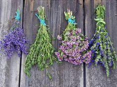 Yzop lékařský. Poznejte bylinku poslední pomoci Kraut, Lavender Plants, Essen