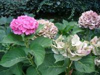 Taille des hortensias (Fiches conseils) Maya, Gardening, Vegetables, Flowers, Gardens, Gardening Tips, Good Advice, Pruning Hydrangeas, Shrub