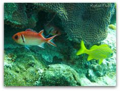 Black Bar Soldierfish and French Grunt