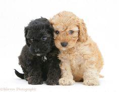 Black-and-Golden-Cockapoo-pups
