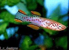 Fundulopanchax Gardneri Jos Plateau 20+ Eggs killifish. at Aquarist Classifieds