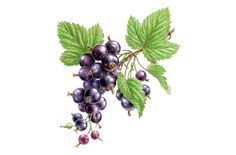 70 Ideas Fruit Watercolor Berries For 2019 Watercolor Fruit, Fruit Painting, Watercolor Paintings, Fruit Illustration, Food Illustrations, Watercolor Illustration, Botanical Drawings, Botanical Prints, Berry