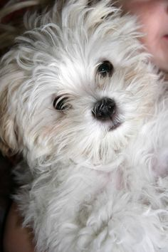 Chace as a puppy! Such a good boy! Malteser, Cute Animals, Puppies, Dogs, Pet Dogs, Pretty Animals, Cubs, Cutest Animals, Cute Funny Animals