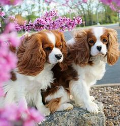Cavaliers and blossoms - so pretty