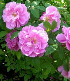 Teresanruusu Seeds, Rose, Garden, Flowers, Plants, Pink, Roses, Lawn And Garden, Florals