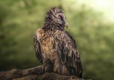 Bearded Vulture - A juvenile bearded vulture (Gypaetus barbatus)