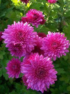 Beautiful Flowers Pictures, Flower Pictures, Amazing Flowers, Beautiful Roses, Bright Flowers, Pretty Flowers, Pink Flowers, Chrysanthemum Flower, Dahlia Flower