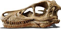 Painting Reference - Velociraptor Skull