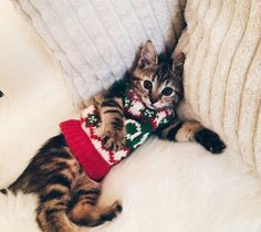 Literally Just 10 Festive Photos of Cats in Tiny Christmas Sweaters Christmas Kitten, Christmas Animals, Winter Christmas, Christmas Cat Dress, Merry Christmas, Xmas, Cute Kittens, Cats And Kittens, Crazy Cat Lady