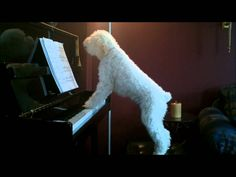 Inspired Young Schnoodle Dog Repeatedly Attempts to Play the Piano and Sing At the Same Time