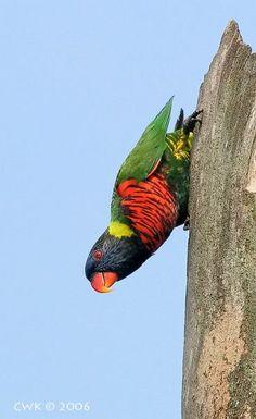 Birds Parrots Rainbow Lorikeet