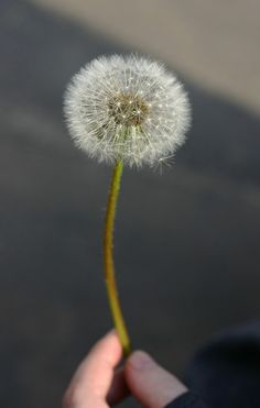It is a Native American tradition to give thanks with dandelions! :)