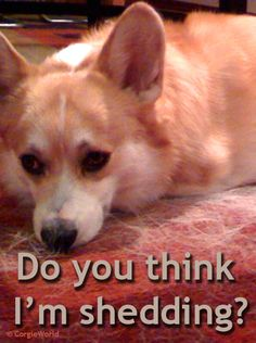 Do you think I'm shedding? | Cute Pembroke Welsh Corgi Hummer, letting his hair down.