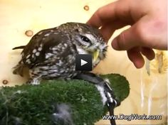 Petting The Cutest Baby Owl