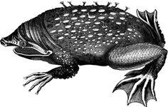 Surinam Toad | Pipa pipa | S. G. Goodrich | Animal Kingdom Illustrated Vol 2 (1859)