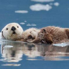 Otter Pup and Mother, Alaska. Photo of the Day | Arts & Culture | Smithsonian Magazine