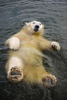 Polar bear just chillin. Will you be my polar bear. Nature Animals, Animals And Pets, Funny Animals, Cute Animals, Baby Animals, Wild Animals, Beautiful Creatures, Animals Beautiful, Tier Fotos