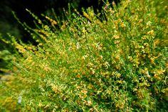 """Acmispon Glaber (Lotus Scoparius)  """"Deerweed"""""""