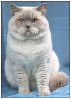 British Shorthair Lilac Point - just like a boy version of my Bella.