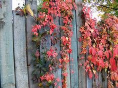 Klimop aan schutting. Colord ivy on fence.