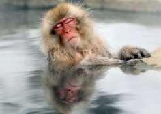 The Japanese macaque also known as snow monkey enjoys a hot bath. Photo by: Nick Ut