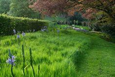 Camassia bulbs in long grass