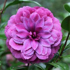 Camellia japonica 'Manuroa Road' (N.Z., 1994)