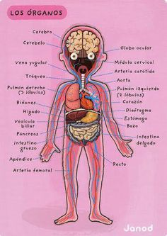 cuerpo humano - Glòria P - Picasa Web Albumsel cuerpo humano - Glòria P - Picasa Web Albums Spanish Grammar, Spanish Vocabulary, Spanish English, Spanish Words, Spanish Language Learning, Spanish Teacher, Spanish Classroom, Spanish Lessons, How To Speak Spanish