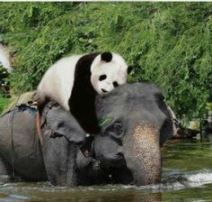 Animal Odd Couples Shirley: I'd like to think the magnificent elephant is taking care of the sweet panda!