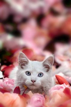 """""""I named my kitten Rose--fur soft as petals, claws sharper than thorns."""" --Astrid Alauda // So cute! I Love Cats, Crazy Cats, Cool Cats, Beautiful Cats, Animals Beautiful, Cute Animals, Kittens Cutest, Cats And Kittens, Kitten Toys"""