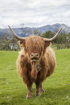 Resultado de imagen de vacas highlands
