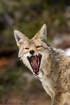 1000 Images About Coyote On Pinterest Coyotes Wolves