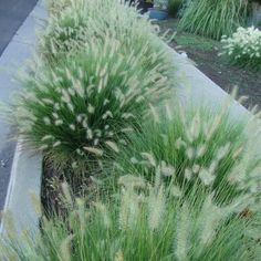 10 Stuks Pennisetum Little Bunny - Dwerg Lampenpoetsersgras - pot (stukprijs woodpatio Perennial Grasses, Ornamental Grasses, Small Gardens, Outdoor Gardens, Landscape Design, Garden Design, Fountain Grass, Garden Fountains, Outdoors
