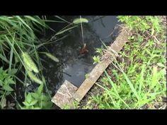 【HD】娘とザリガニ釣り ガッツリ爆釣!! Crayfish Fishing - YouTube