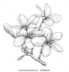 Find Plumeria Hawaii Bali Indonesia Shrilanka Tropical stock images in HD and millions of other royalty-free stock photos, illustrations and vectors in the Shutterstock collection. Frangipani Tattoo, Tropical Flowers, Tropical Flower Tattoos, Plumeria Flowers, Flower Line Drawings, Flower Sketches, Flor Tattoo, Watercolor Flower, Tattoo Ideas