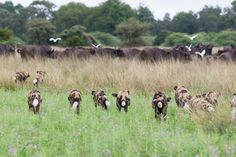 African wild dogs preparing to attack a herd of buffalo at Mombo #OkavangoDelta