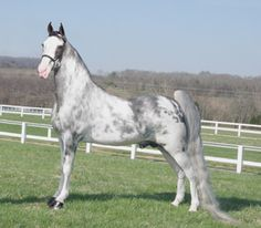 Tennessee Walking horses - Gallery of the animal portrait photos of noted photographer, PJ Wamble Most Beautiful Horses, All The Pretty Horses, Animals Beautiful, Horse Walker, Tennessee Walking Horse, American Saddlebred, Appaloosa Horses, Horse Pictures, Show Horses