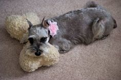 The Cuteness - Puppy Blog of a Little White Miniature Schnauzer, featuring Lily