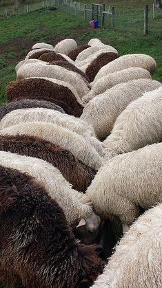 Sheepsandpeeps