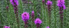 Liatris spicata by hczone6
