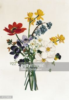 Stock Illustration : Bouquet of narcissi and anenome