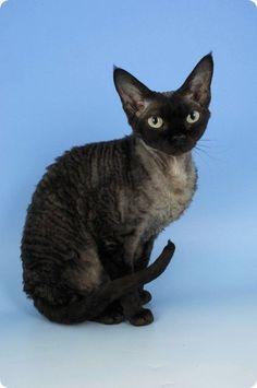 Chat Noir Devon Rex Assis - Viral Kittens